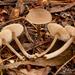 Entolomataceae - Photo (c) Trent Pearce, כל הזכויות שמורות