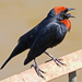 Chestnut-capped Blackbird - Photo (c) Rodrigo Conte, all rights reserved