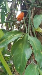 Philodendron tripartitum image