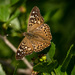 Hackberry Emperor - Photo (c) William Mat Brown, all rights reserved