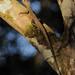 Uranoscodon superciliosus - Photo (c) Andrew Snyder, todos los derechos reservados, uploaded by asnyder5