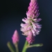 Celosia argentea - Photo (c) Agnes Trekker, כל הזכויות שמורות