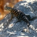 Granite Spiny Lizard - Photo (c) coelho, all rights reserved, uploaded by Joe Coelho