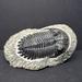 Trilobites - Photo (c) Harrison Faulk, todos los derechos reservados