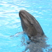 False Killer Whale - Photo (c) Ula Yu, some rights reserved (CC BY-NC)