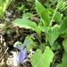 Viola kusanoana - Photo (c) 近藤行仁, todos los derechos reservados