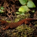 Annulated Gecko - Photo (c) Luis Alejandro Rodriguez J., all rights reserved
