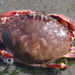 Graceful Rock Crab - Photo (c) Wendy Feltham, all rights reserved