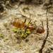Forelius pruinosus - Photo (c) Clarence Holmes, כל הזכויות שמורות