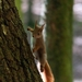 Eurasian Red Squirrel - Photo (c) Emma Christensen, all rights reserved