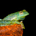 Ecuadorian Blue Glass Frog - Photo (c) Andrés Mauricio Forero Cano, all rights reserved
