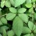 Cayratia japonica - Photo (c) Corrine, todos los derechos reservados