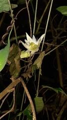 Passiflora lobata image