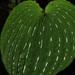 Monophyllorchis maculata - Photo (c) Sebastián Vizcarra, todos los derechos reservados