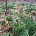 Fan Clubmoss - Photo (c) angeliquedenise, all rights reserved