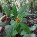 Psychotria aurantiibractea - Photo (c) José Antonio Araya, todos los derechos reservados