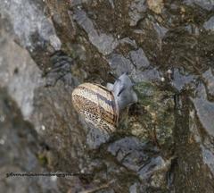 Allognathus balearicus image