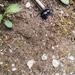 Trypocopris pyrenaeus splendens - Photo (c) Daniel Molinari, all rights reserved