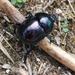 Trypocopris pyrenaeus - Photo (c) Daniel Molinari, todos los derechos reservados
