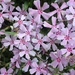 Hentz's Phlox - Photo (c) jtuttle, all rights reserved