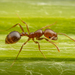 Fire Ants and Thief Ants - Photo (c) Clarence Holmes, all rights reserved