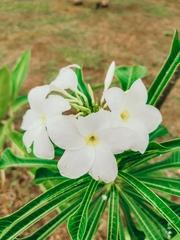 Plumeria pudica image