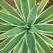 Agave angustifolia - Photo (c) Mair Del Cid Perén, כל הזכויות שמורות