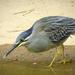 Striated Heron - Photo (c) Angela Christine Chua, all rights reserved
