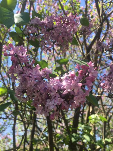 Syringa hyacinthiflora image