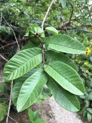 Psidium guajava image