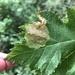 Euleia fratria - Photo (c) Nancy Asquith, todos los derechos reservados