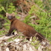 European Pine Marten - Photo (c) PABLO MIKI GARCIA GONZALEZ, all rights reserved