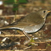 Bicknell's Thrush - Photo (c) Jay L. Keller, all rights reserved