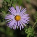 Aromatic Aster - Photo (c) Bart Jones, all rights reserved