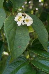 Stizophyllum riparium image