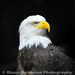 Southern Bald Eagle - Photo (c) Diana Robinson, all rights reserved