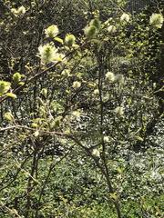 Image of Fothergilla major