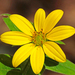 Starry Rosinweed - Photo (c) Jerry Oldenettel, some rights reserved (CC BY-NC-SA)