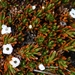 Dracophyllum politum - Photo (c) Rémi Bigonneau, כל הזכויות שמורות