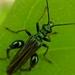 Oedemeridae - Photo (c) Felix Winterhoff, όλα τα δικαιώματα διατηρούνται