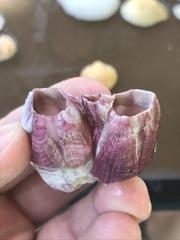 Megabalanus tintinnabulum image