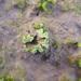 Riccia sorocarpa - Photo (c) Tig, todos los derechos reservados