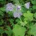 Hydrophyllum appendiculatum - Photo (c) chert_hollow, todos los derechos reservados