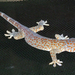 Tokay Gecko - Photo (c) wbsimey, all rights reserved, uploaded by Brian Simison