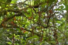 Picramnia latifolia image