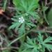 Geranium carolinianum - Photo (c) Eric Wood, todos os direitos reservados