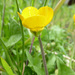 Bulbous Buttercup - Photo (c) Tig, all rights reserved