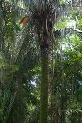 Attalea butyracea image