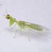 Mosca Mantis Verde - Photo (c) Joseph C, todos los derechos reservados