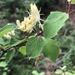 Lonicera xylosteum - Photo (c) HB9SHD HAM, todos los derechos reservados